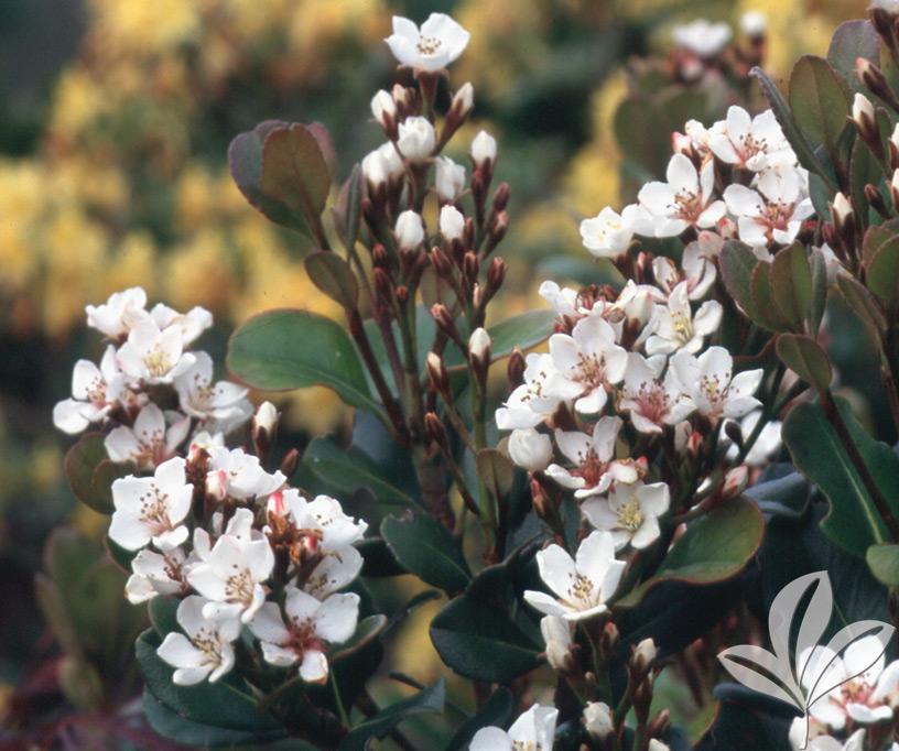 HAWTHORN spring sonata - Covingtons