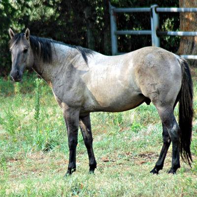Heart Girl Wallpaper Coyote Ridge Ranch Llc Blue Valentine Stallions Grullo