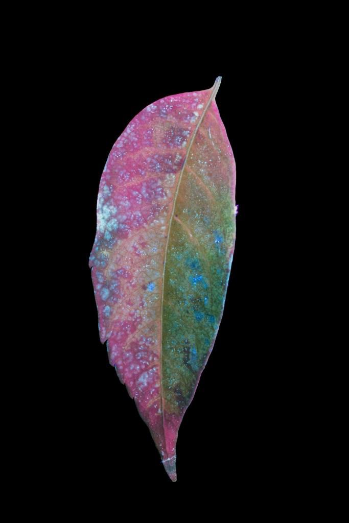 Koelreuteria Leaf