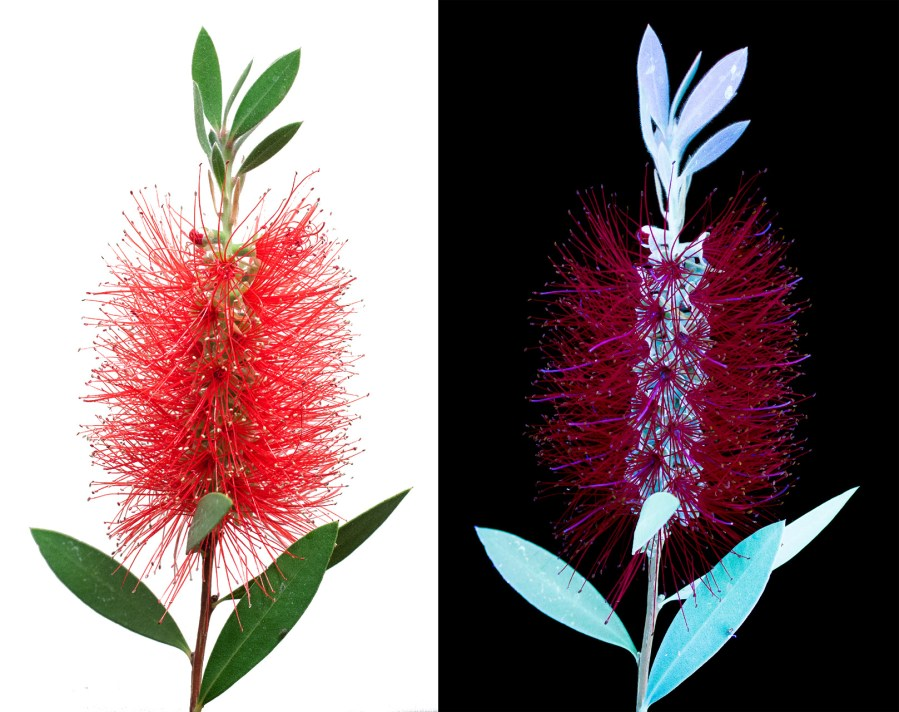 Bottlebrush Comparison s