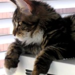 Magellan - Gazing Kitten