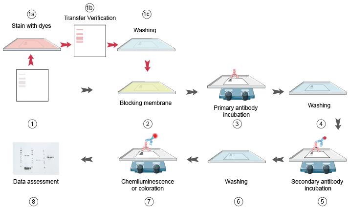 Western Blot Protocols part 3 - Creative Diagnostics