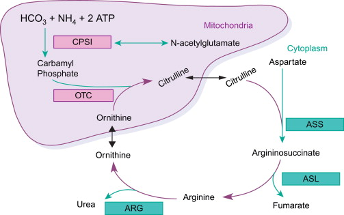 Urea Cycle Metabolism Analysis Service - Creative Proteomics - urea cycle