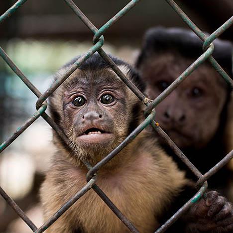 Monos juntos enjaulados en un zoológico privado en México. Foto: Tras Los Muros.