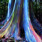 The Rainbow Eucalyptus Tree