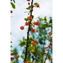 Small Crop Of North Star Cherry Tree