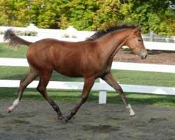 Bay Foal Trotting