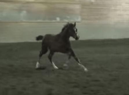 Forrest, Half-Arabian Gelding