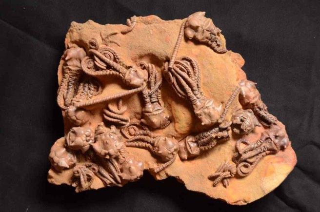 museum trilobite specimen