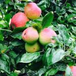 Brambletye: Apples