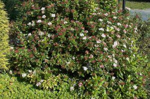 Viburnum tinus 'Spring Bouquet' — Laurestinus - California Supplemental Exam for landscape architects