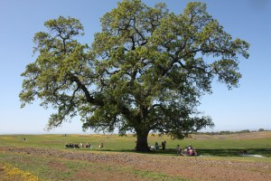 Quercus lobata - Valley Oak - California Native Oak Tree - California Supplemental Exam for landscape architects