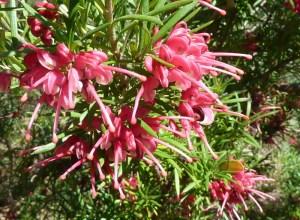 Grevillea rosmarinifolia — Rosemary Grevillea - California Supplemental Exam for Landscape Architects