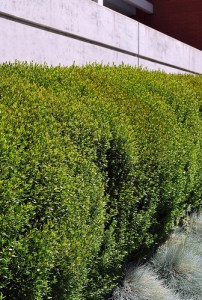 Myrtus communis - Myrtle - California Supplemental Exam for Landscape Architects