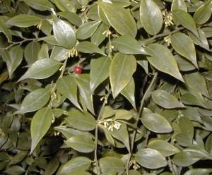 Sarcoccoca ruscifolia — Fragrant Sarcoccoca