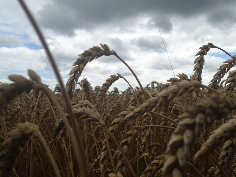 Crops Hanging On Through Wet Storm Riddled Summer Ctv