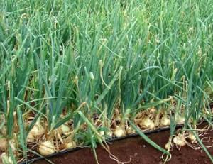 Cultivo de la cebolla