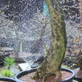 watering bonsai (3)