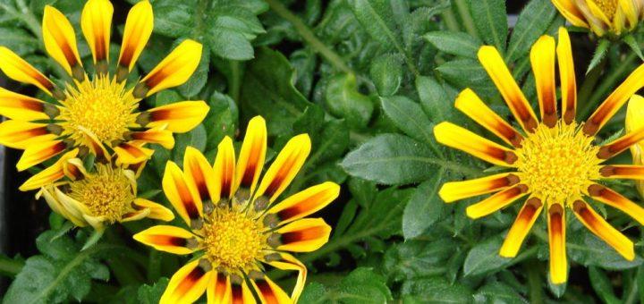 Flor da Gazânia