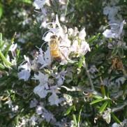 Le romarin en fleur attire les pollinisateurs !