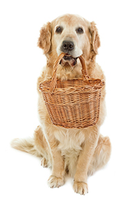 Golden retriever with basket_revised3