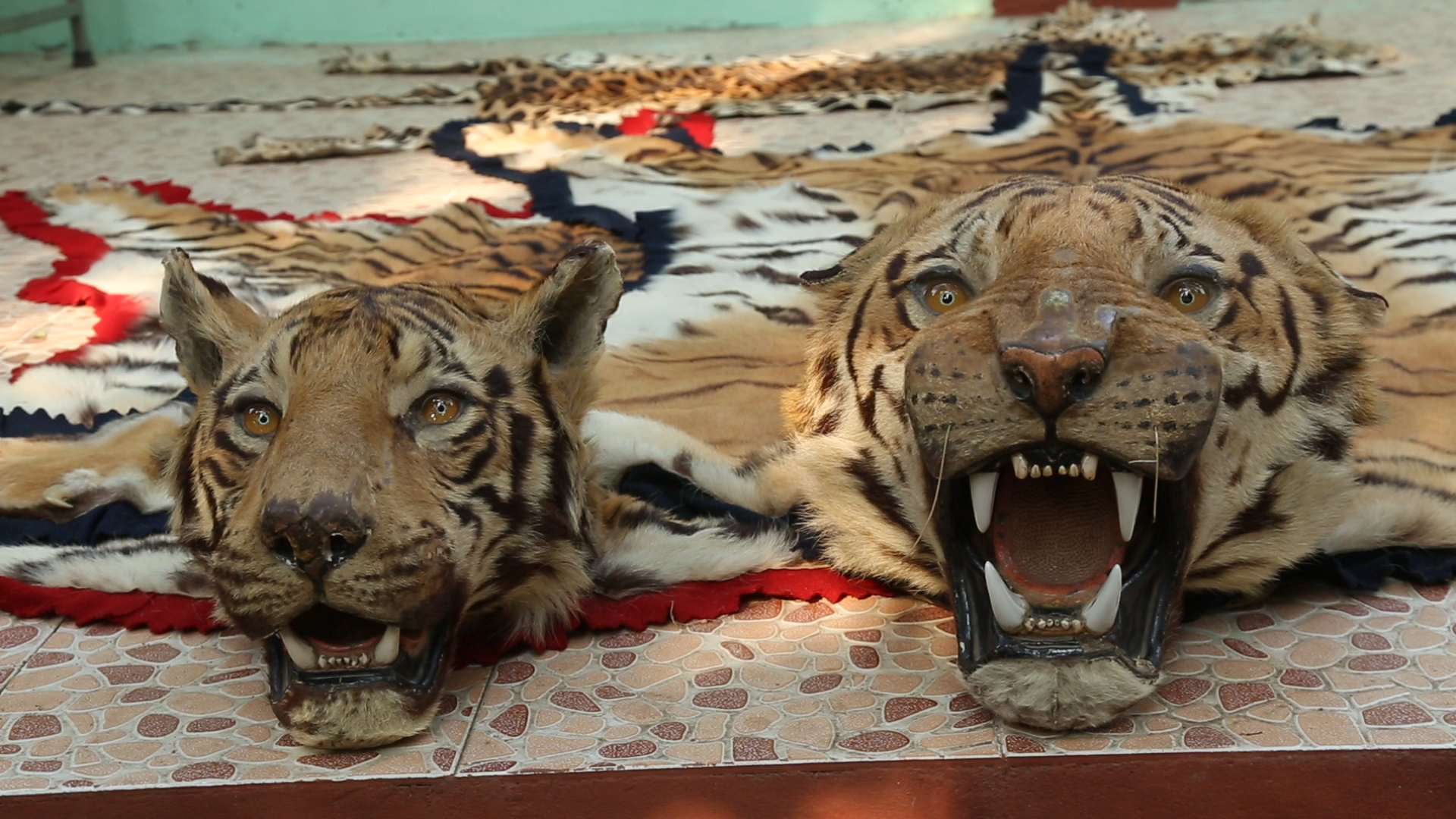 Why Is Animal Poaching So Rampant Curious Halt