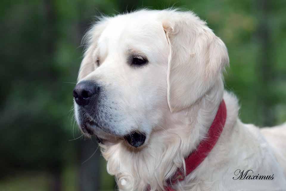 Image For La Dor Retriever Puppies For Sale In Michigan