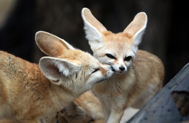 Cute Lion Cubs Hd Wallpapers Fennec Fox Cuteness Overflow