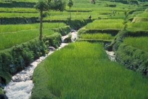 green rice paddies