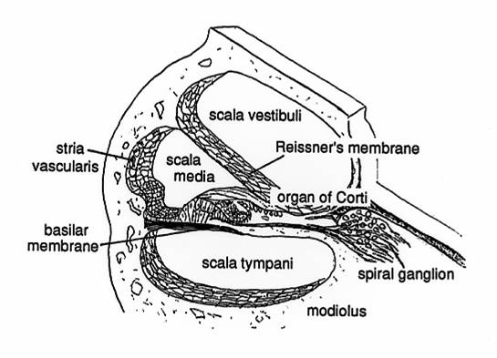 cochlea diagram scala media