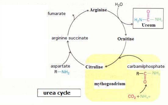 biochemistry - urea cycle