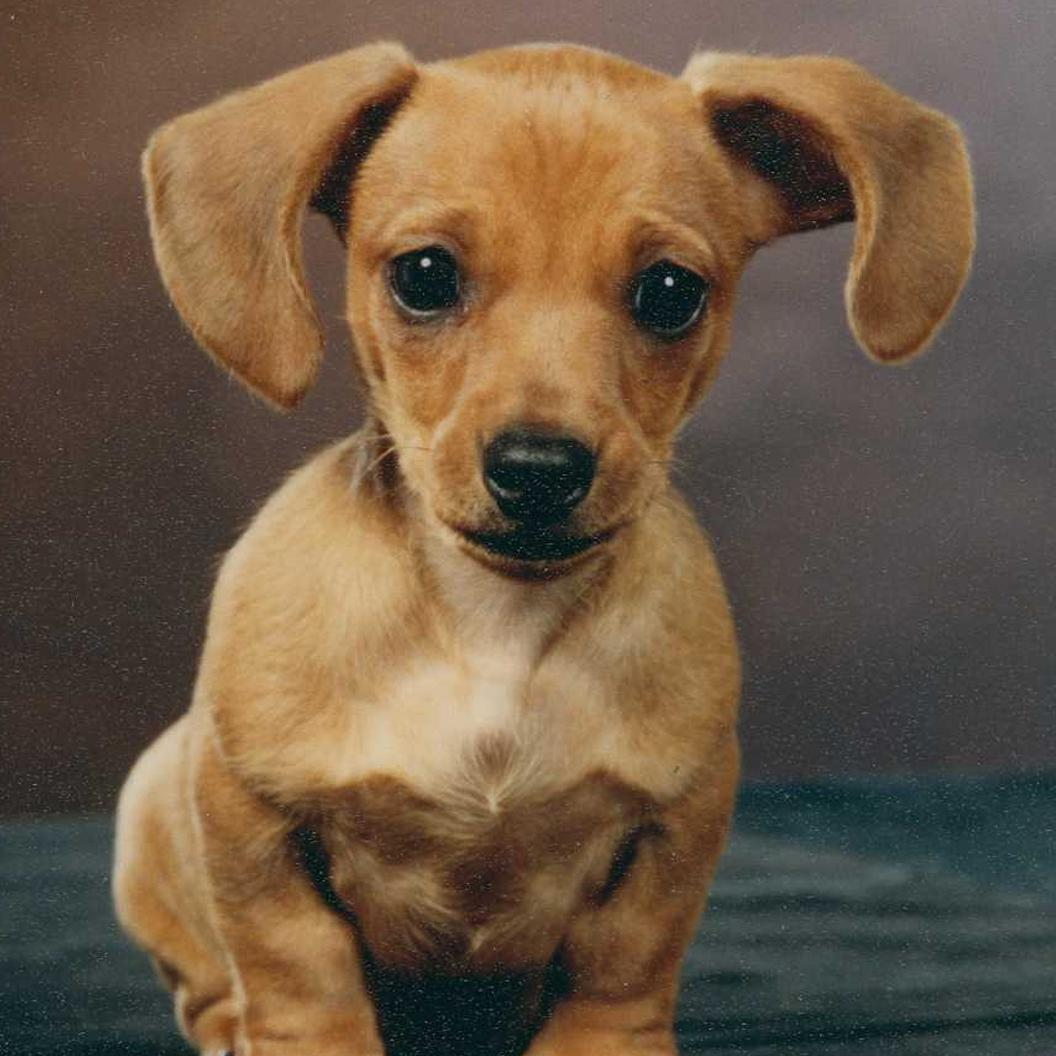 1000 Ideas About Dachshund On Pinterest Auto Electrical Wiring Diagram Chevy 1988 Dach