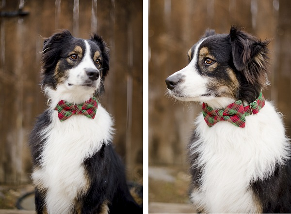 Cute Husky Wallpaper Bone Amp Bow Tie Giveaway Daily Dog Tag