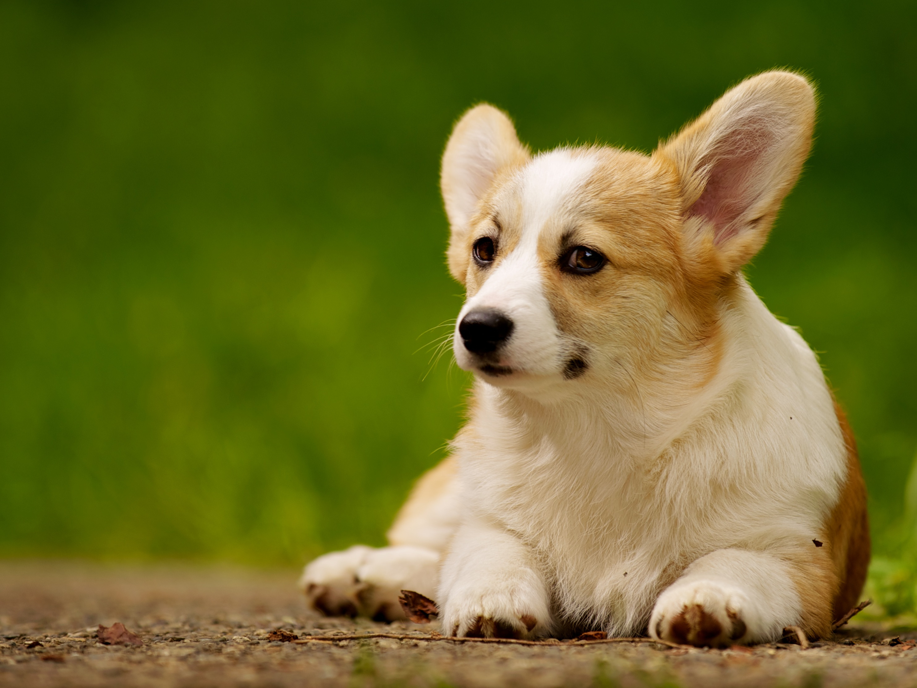 Small Cute Puppy Wallpapers Guy Makes His Dog Do The Donald Trump Loyalty Salute The