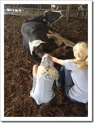 Helping deliver the baby calf