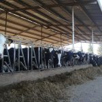 The Complex Science Behind Feeding Cows