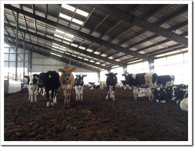 Herd of Heifer Calves