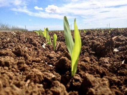 Corn coming up