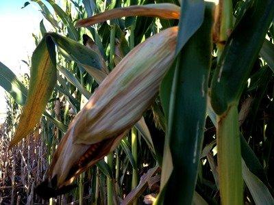 A ear of Corn