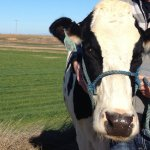 Cow Shepherd: a new label for dairy farmers