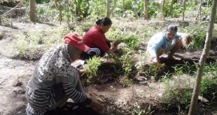 Kader berdaya kelompok Gunung Konci  malakukan panen perdana. (Sari/Putri/PKPU)