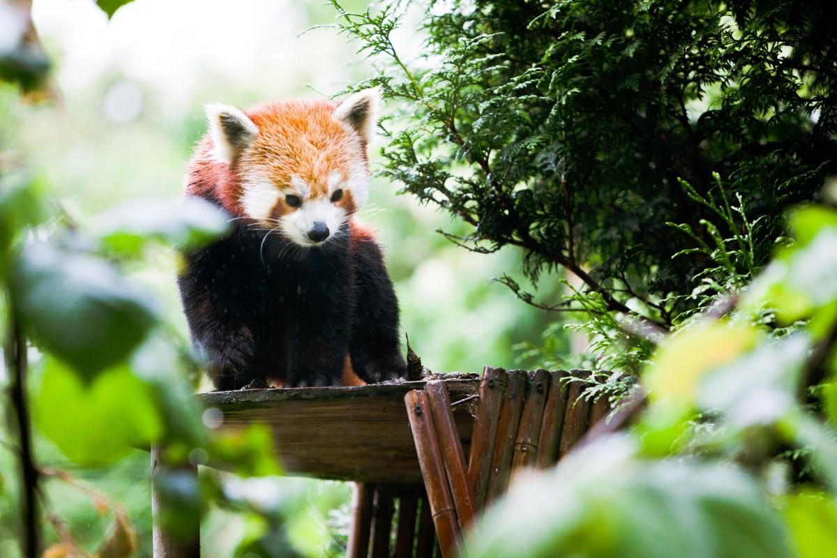 Red Panda, June 2015