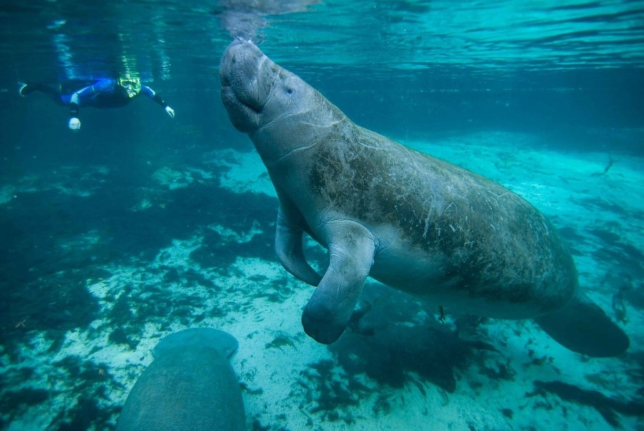 Swimming with Manatees - Snorkeler