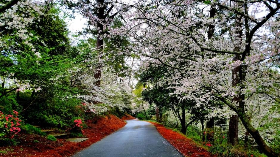 Macon, Georgia Cherry Blossom