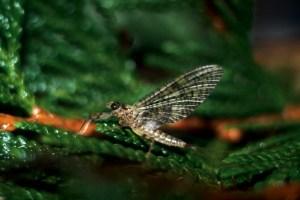 Gray Fox mayfly dun