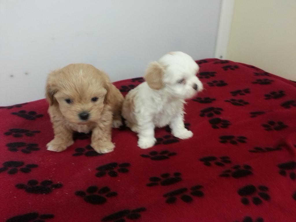 Buffalo Designer Dog Puppy Breeder Puppies For Sale