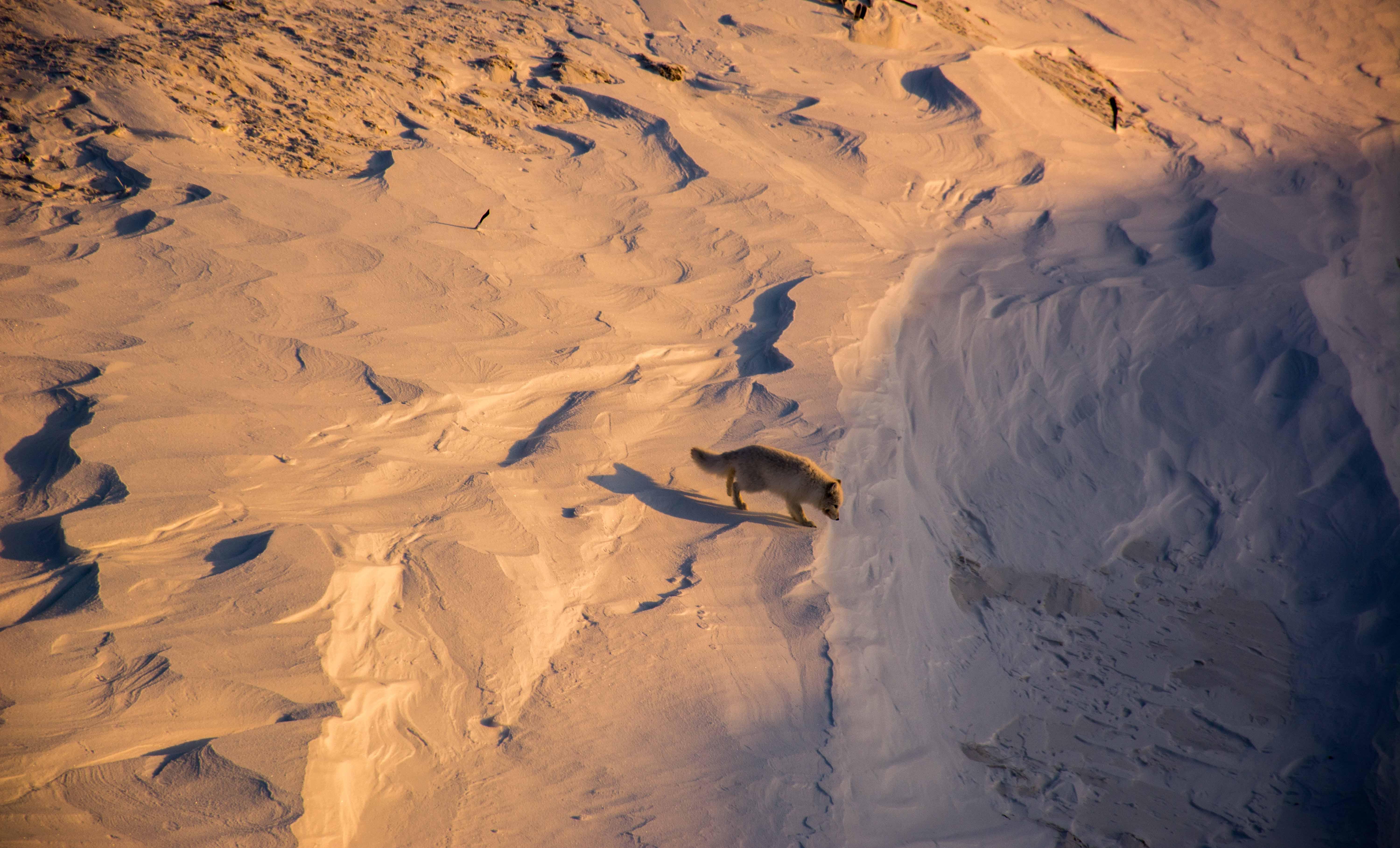 Pensive Arctic Fox