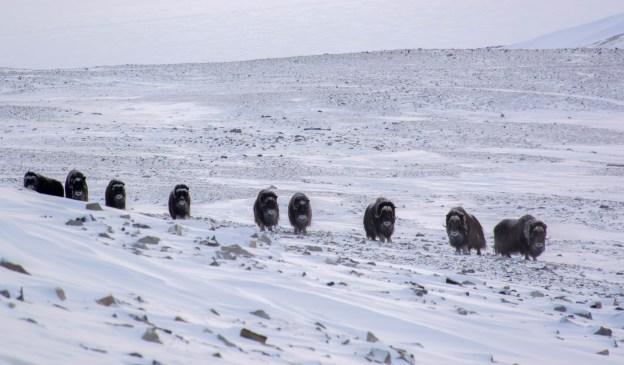 Herd of Muskox on Ellesmere Island, Nunavut, Canada