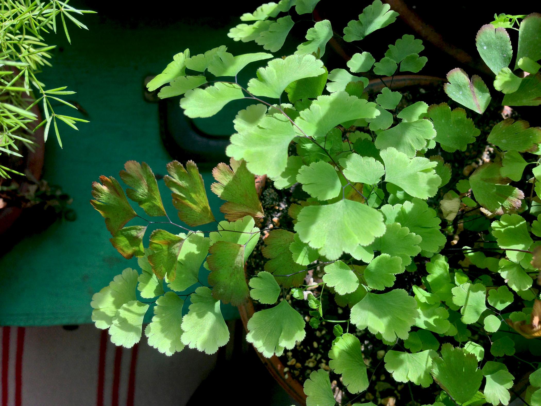 Maidenhair fern / Darker than Green