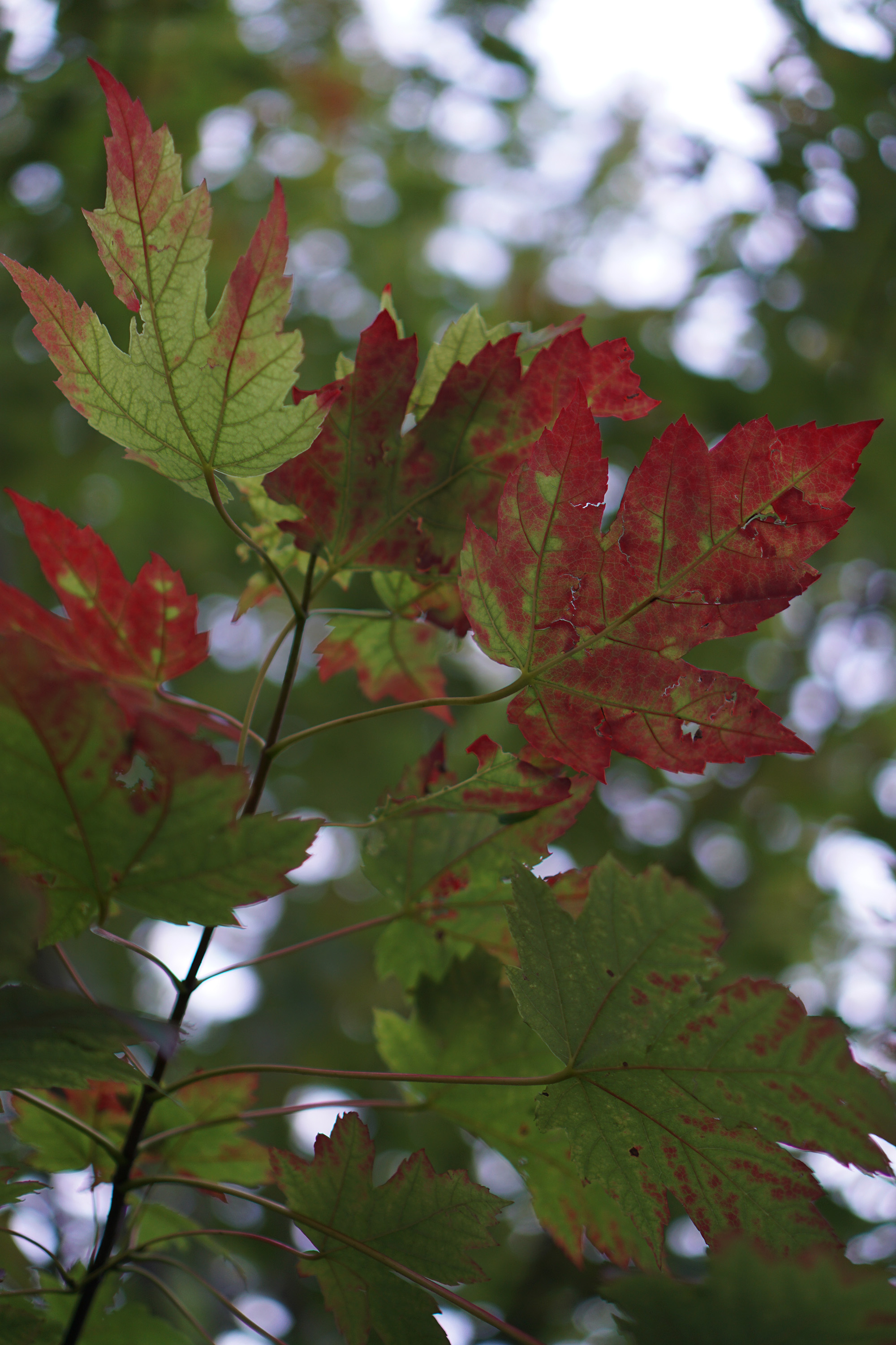 Turning maple leaves in early fall / Darker than Green